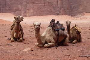The-camels-that-Kathy-and-I-rode-on-the-first-day-including-angry-camel-and-slow-camel